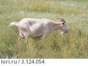Купить «Пасущаяся коза», эксклюзивное фото № 3124054, снято 6 августа 2011 г. (c) Шичкина Антонина / Фотобанк Лори