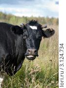 Купить «Жующая корова», фото № 3124734, снято 25 сентября 2009 г. (c) Михаил Смиров / Фотобанк Лори