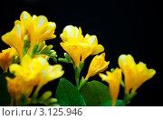 Купить «Желтая фрезия», фото № 3125946, снято 5 января 2012 г. (c) Morgenstjerne / Фотобанк Лори