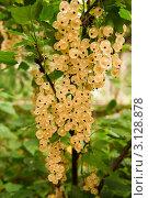 Купить «Ягоды белой смородины», фото № 3128878, снято 16 июля 2011 г. (c) Зобков Георгий / Фотобанк Лори