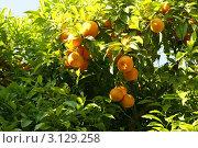 Мандариновое дерево с плодами. Стоковое фото, фотограф Жакова Дарья / Фотобанк Лори