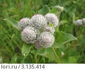 Купить «Соцветие лопуха войлочного или паутинистого (Arctium tomentosum)», фото № 3135414, снято 6 июля 2011 г. (c) Заноза-Ру / Фотобанк Лори