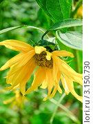 Купить «Подсолнух (Helianthus annuus)», эксклюзивное фото № 3150730, снято 8 июля 2010 г. (c) Алёшина Оксана / Фотобанк Лори
