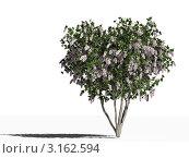 Купить «Цветущая индийская сирень (lagerstroemia indica) на белом фоне», иллюстрация № 3162594 (c) WalDeMarus / Фотобанк Лори