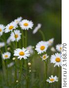 Купить «Несколько белых ромашек», фото № 3168770, снято 14 августа 2018 г. (c) vlntn / Фотобанк Лори