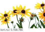 Купить «Желтая рудбекия, изолированно на белом фоне», фото № 3168786, снято 28 июля 2009 г. (c) vlntn / Фотобанк Лори