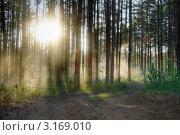 Солнце в лесу. Стоковое фото, фотограф vlntn / Фотобанк Лори