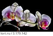 Цветущая орхидея. Стоковое фото, фотограф Сергей Высоцкий / Фотобанк Лори