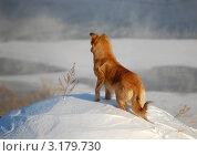 Рыжая собака стоит на снегу. Стоковое фото, фотограф Фомина Марина / Фотобанк Лори