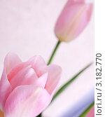 Розовые тюльпаны. Стоковое фото, фотограф valentina vasilieva / Фотобанк Лори