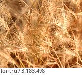 Купить «Колоски, фон», фото № 3183498, снято 17 июня 2009 г. (c) Оксана Морозова / Фотобанк Лори