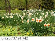 Купить «Нарциссы цветут на лесной поляне», эксклюзивное фото № 3191742, снято 8 мая 2011 г. (c) Щеголева Ольга / Фотобанк Лори