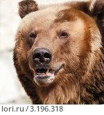 Купить «Бурый медведь», фото № 3196318, снято 8 апреля 2009 г. (c) Татьяна Белова / Фотобанк Лори