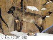 Волк на фоне камней. Стоковое фото, фотограф Юрий Васильев / Фотобанк Лори