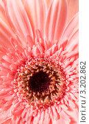 Розовая гербера. Стоковое фото, фотограф ElenArt / Фотобанк Лори