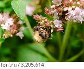 Шмель (Bombus)  на соцветии душицы (Origanum vulgare) Стоковое фото, фотограф Алёшина Оксана / Фотобанк Лори
