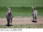 Купить «Две Зебры», фото № 3206078, снято 12 ноября 2011 г. (c) Дмитрий Краснов / Фотобанк Лори