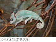 Спящий на ветке хамелеон. Стоковое фото, фотограф Артем Свистун / Фотобанк Лори
