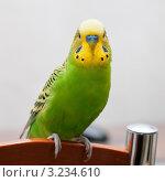 Купить «Портрет волнистого попугая, сидящего на спинке стула и смотрящего прямо», эксклюзивное фото № 3234610, снято 4 февраля 2012 г. (c) Игорь Низов / Фотобанк Лори