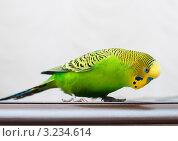 Купить «Портрет волнистого попугая, ходящего по столу», эксклюзивное фото № 3234614, снято 4 февраля 2012 г. (c) Игорь Низов / Фотобанк Лори