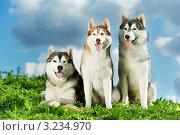 Купить «Три собаки породы сибирский хаски на природе», фото № 3234970, снято 19 июля 2018 г. (c) Дмитрий Калиновский / Фотобанк Лори