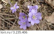Сиреневые цветы. Стоковое фото, фотограф Елена Ерёменко / Фотобанк Лори