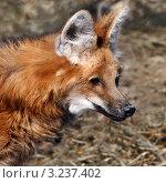 Купить «Красный волк. Московский зоопарк», фото № 3237402, снято 8 апреля 2009 г. (c) Татьяна Белова / Фотобанк Лори