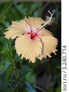 Купить «Гибискус. (Hibiscus rosa sinensis Malvaceae)», эксклюзивное фото № 3240714, снято 23 января 2012 г. (c) Svet / Фотобанк Лори