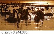 Водоплавающие птицы на озере вечером. Стоковое видео, видеограф Владимир Никулин / Фотобанк Лори