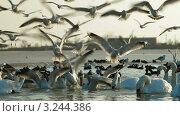 Купить «Лебеди и чайки на озере», видеоролик № 3244386, снято 11 февраля 2012 г. (c) Владимир Никулин / Фотобанк Лори