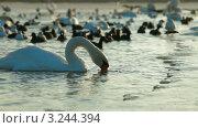 Купить «Водоплавающие птицы на зимнем озере», видеоролик № 3244394, снято 11 февраля 2012 г. (c) Владимир Никулин / Фотобанк Лори