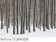 Купить «Снегопад в лесу», фото № 3264026, снято 6 февраля 2011 г. (c) Михаил Коханчиков / Фотобанк Лори