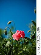 Розовый мак на фоне неба. Стоковое фото, фотограф Мария Калиниченко / Фотобанк Лори
