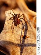 Паук в лесу на сухом листе. Стоковое фото, фотограф Мария Калиниченко / Фотобанк Лори