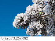 Ветка ели в снегу. Стоковое фото, фотограф Марина Зимина / Фотобанк Лори