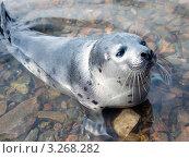 Гренландский тюлень (Pagophilus groenlandicus) Стоковое фото, фотограф Александр Новиков / Фотобанк Лори