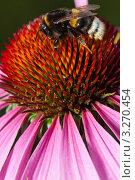 Пчела сидит на цветке Эхинацеи. Стоковое фото, фотограф Aleksandrs Jemeļjanovs / Фотобанк Лори