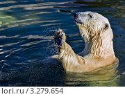 Купить «Белый медведь», фото № 3279654, снято 30 мая 2010 г. (c) Аникин Сергей Иванович / Фотобанк Лори