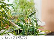 Купить «Кодиеум, или кротон пёстрый (Сodiaeum variegatum)», эксклюзивное фото № 3279758, снято 21 февраля 2012 г. (c) Макарова Елена / Фотобанк Лори