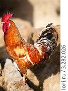 Купить «Петух сидит на ограде на сельском дворе», фото № 3282026, снято 25 января 2012 г. (c) Николай Винокуров / Фотобанк Лори