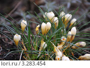 Крокусы Variegated Crocus. Стоковое фото, фотограф Татьяна Кахилл / Фотобанк Лори