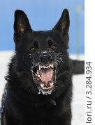 Купить «Черная собака породы немецкая овчарка лает», фото № 3284934, снято 12 февраля 2012 г. (c) Антонова Виктория Юрьевна / Фотобанк Лори