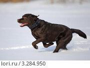 Собака,лабрадор,бежит по снежному полю. Стоковое фото, фотограф Антонова Виктория Юрьевна / Фотобанк Лори