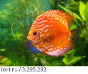 Дискус в аквариуме (Symphysodon discus) Стоковое фото, фотограф Алексей Кокоулин / Фотобанк Лори