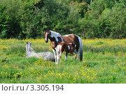 Купить «Кобыла кормит своего  жеребенка на лугу», фото № 3305194, снято 20 июня 2011 г. (c) Татьяна Кахилл / Фотобанк Лори