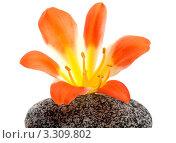 Красивый цветок на камне. Стоковое фото, фотограф Константин Сидоров / Фотобанк Лори