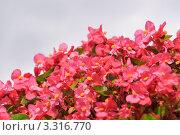 Купить «Бегония всегдацветущая, или вечноцветущая (Begonia semperflorens», эксклюзивное фото № 3316770, снято 4 августа 2011 г. (c) Алёшина Оксана / Фотобанк Лори