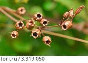 Купить «Семенные коробочки. Кукушкин горицвет (Соrоnаriа Flоs сuсuli)», эксклюзивное фото № 3319050, снято 5 июля 2010 г. (c) Алёшина Оксана / Фотобанк Лори
