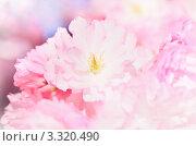 Купить «Цветы сакуры крупным планом», фото № 3320490, снято 4 апреля 2020 г. (c) Sergey Borisov / Фотобанк Лори