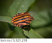 Купить «Красный полосатый жук на травинке», фото № 3321218, снято 11 июля 2009 г. (c) Романцова Ольга / Фотобанк Лори